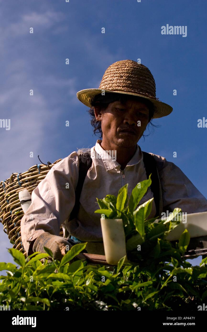Una raccoglitrice di tè funziona usando clippers. Egli pone il tè nel  cestello sulla sua 097ec7a3d0a9