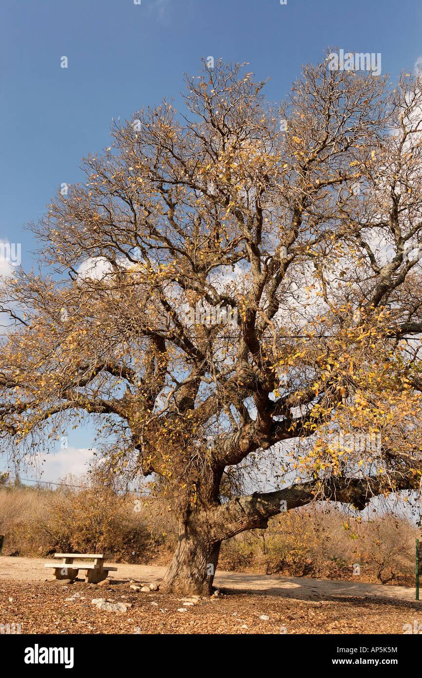 Israele la Bassa Galilea Monte Tabor quercia quercus ithaburensis in Beth Keshet Foto Stock