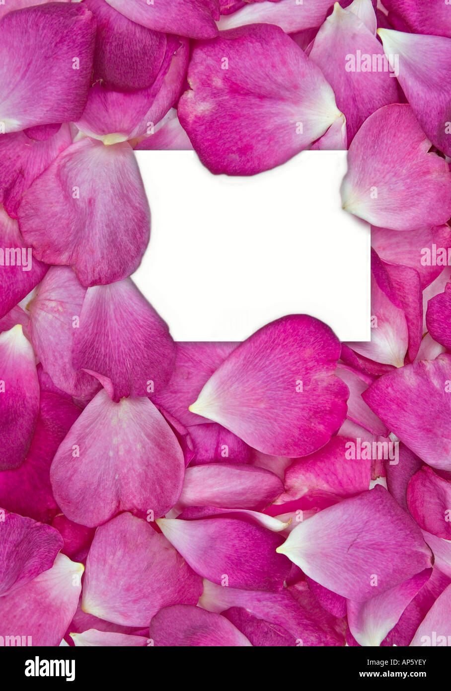 Di un bel colore rosa petali di rosa con carta bianca per il tuo messaggio Immagini Stock
