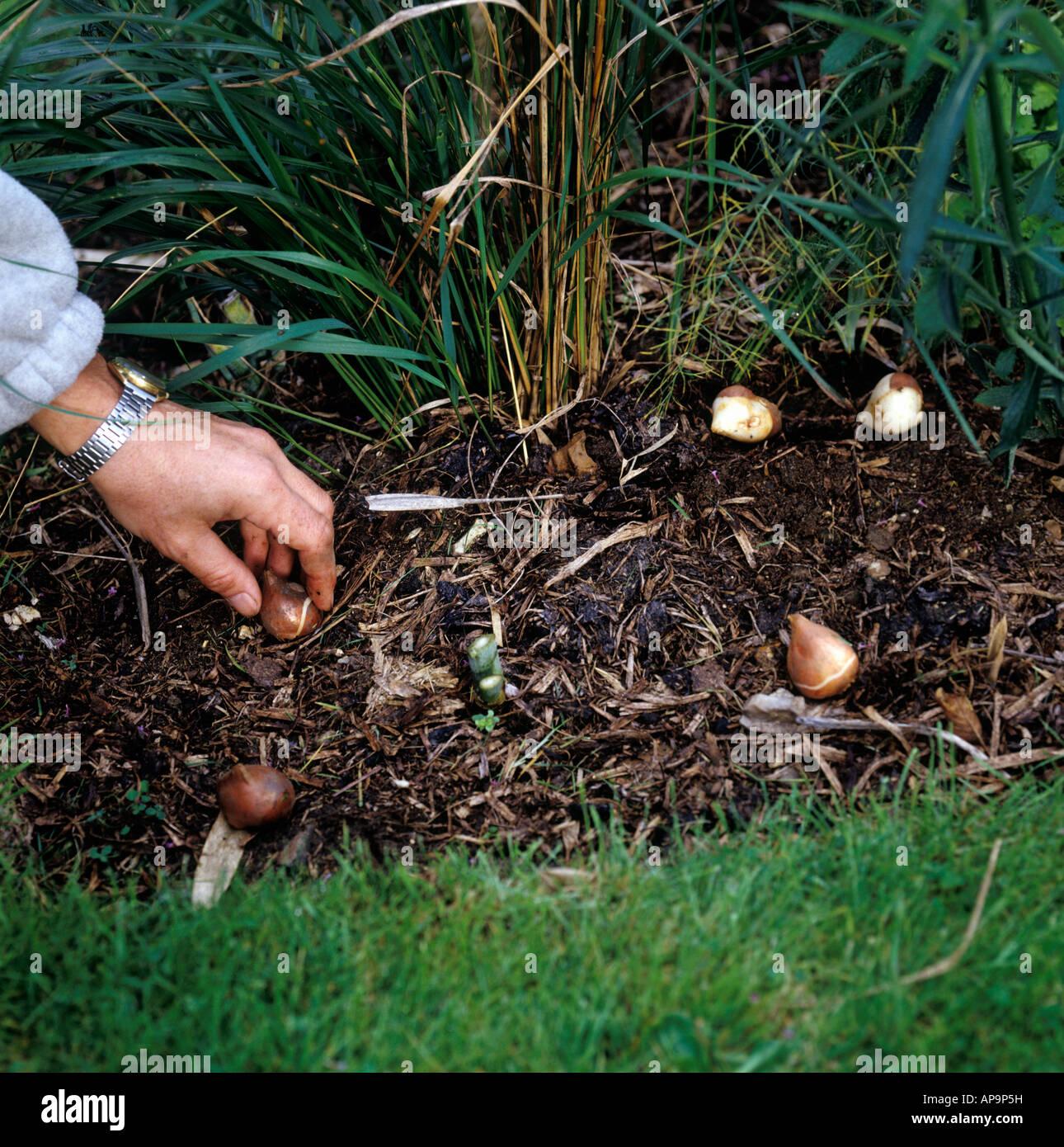 Piantare I Bulbi Di Tulipani piantare bulbi di tulipani foto & immagine stock: 15721948