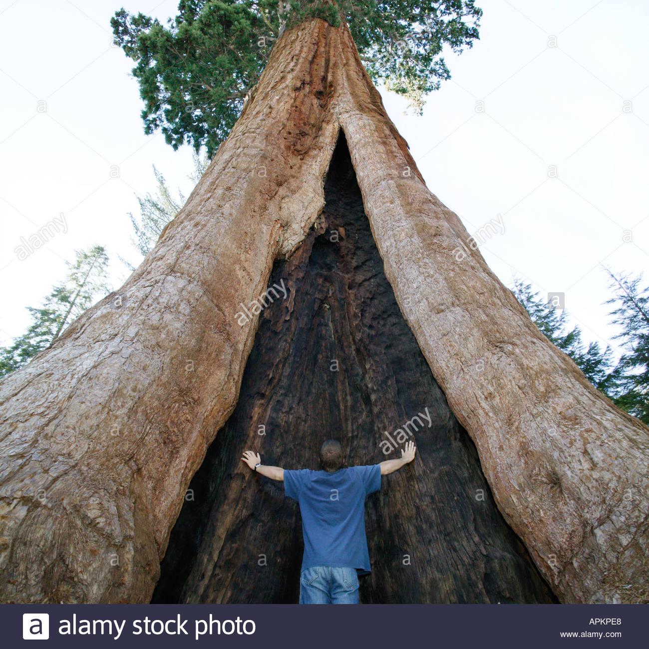 Gigantesco albero di sequoia. (Sequoia National Park, California, USA) Immagini Stock
