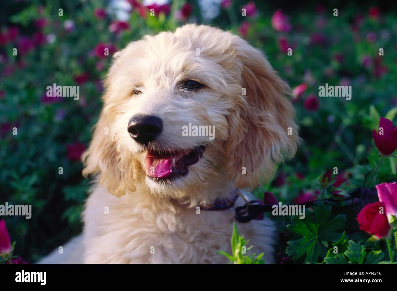 Golden doodle cucciolo di razza cane mangia fiori Immagini Stock
