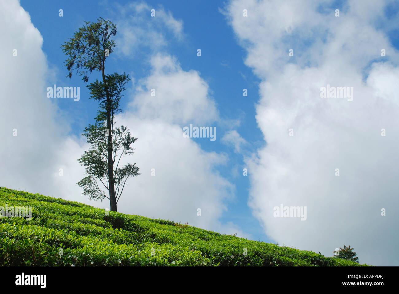 Uno whint inTea struttura plantation attraverso i pendii in Kerala India Immagini Stock