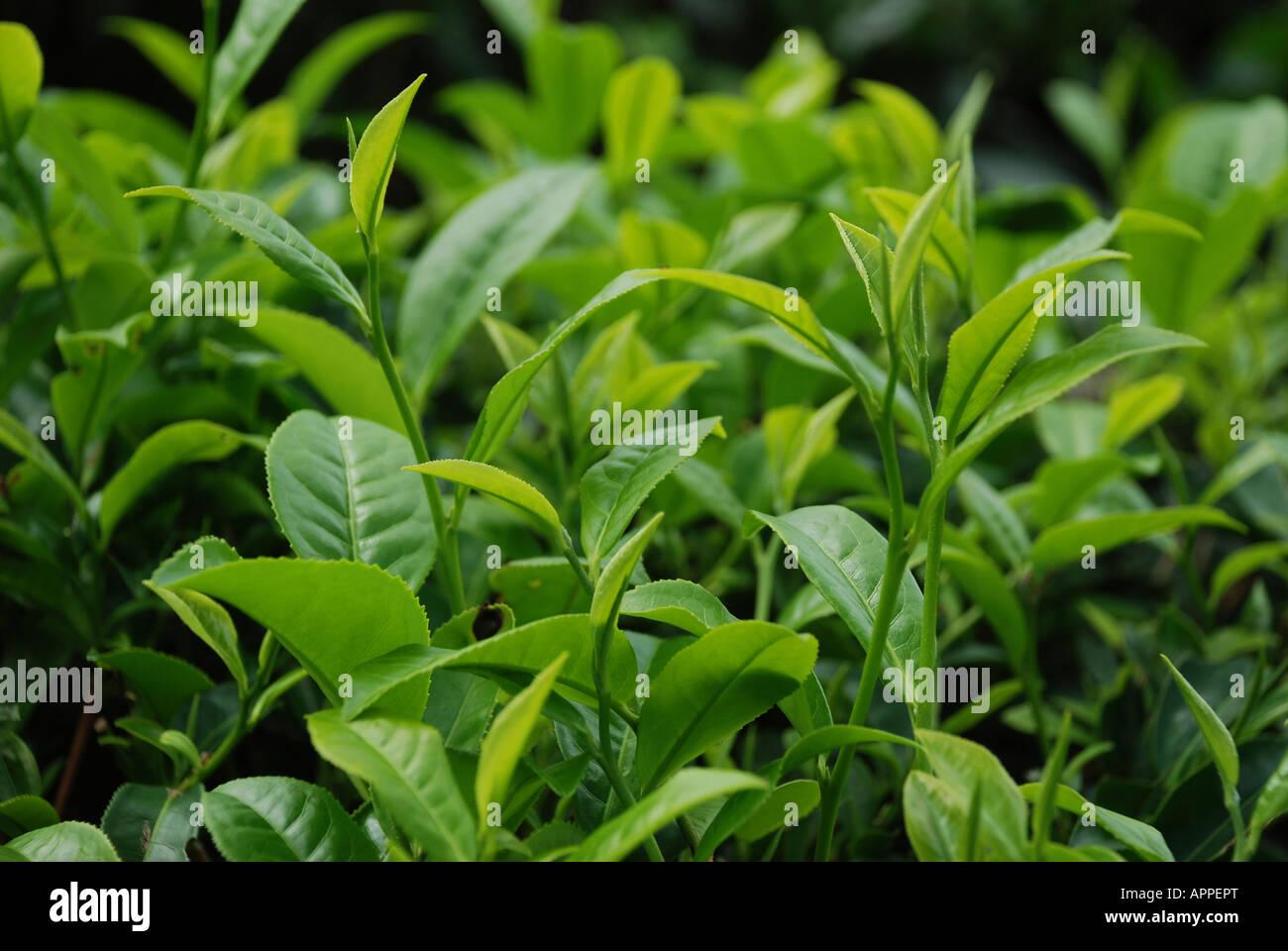 La piantagione di tè attraverso i pendii in Kerala India Immagini Stock
