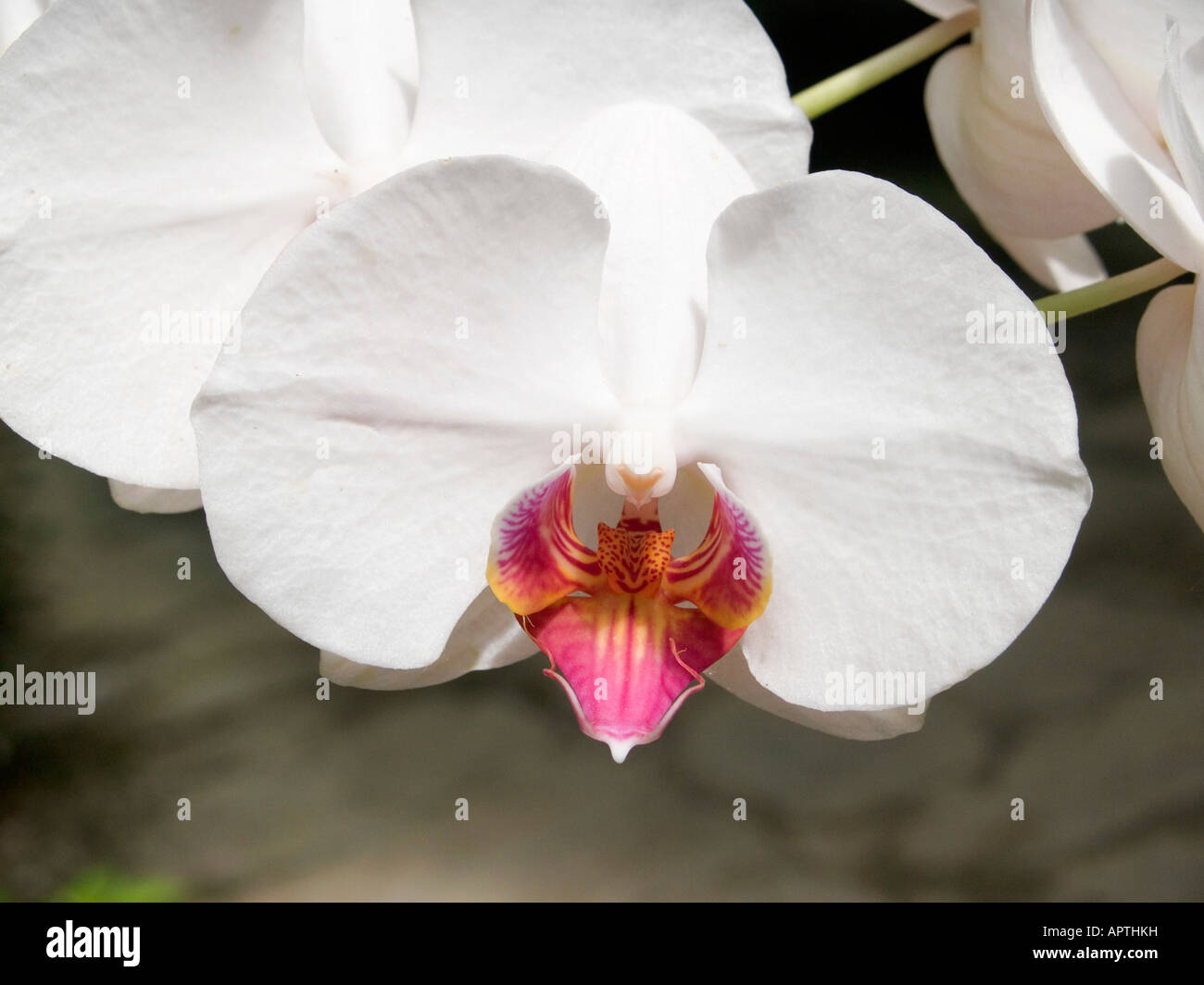 Orchidea bianca in un giardino birmano Foto Stock