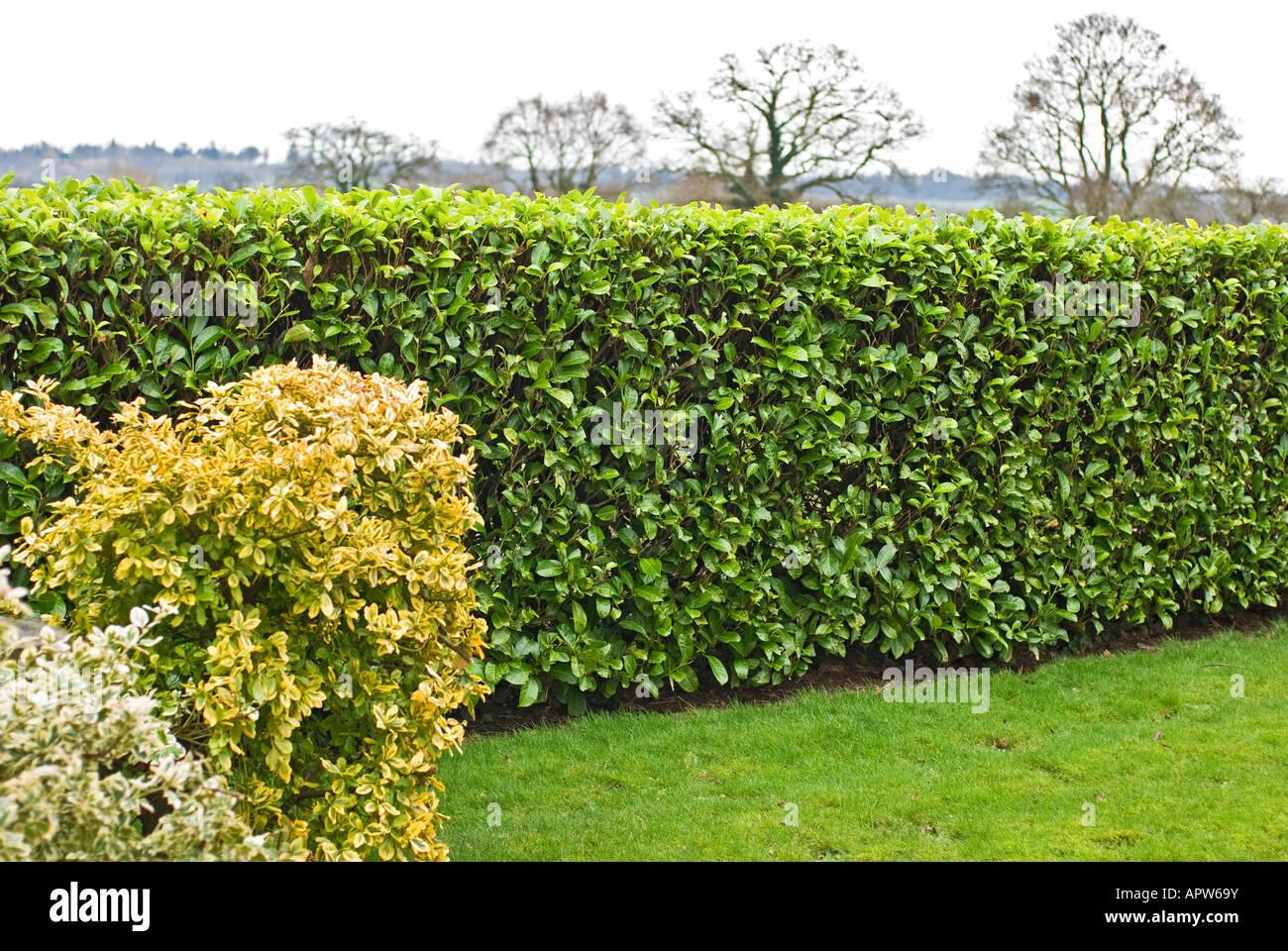 Perfettamente agganciato siepe di alloro in un giardino WILTSHIRE REGNO UNITO Immagini Stock