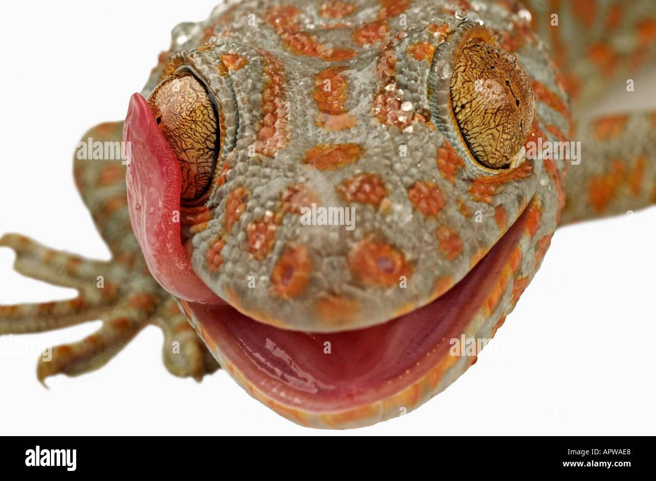 Vino di Tokay gecko Gekko gecko usando la lingua per pulire occhio Dist Sud Est asiatico Immagini Stock