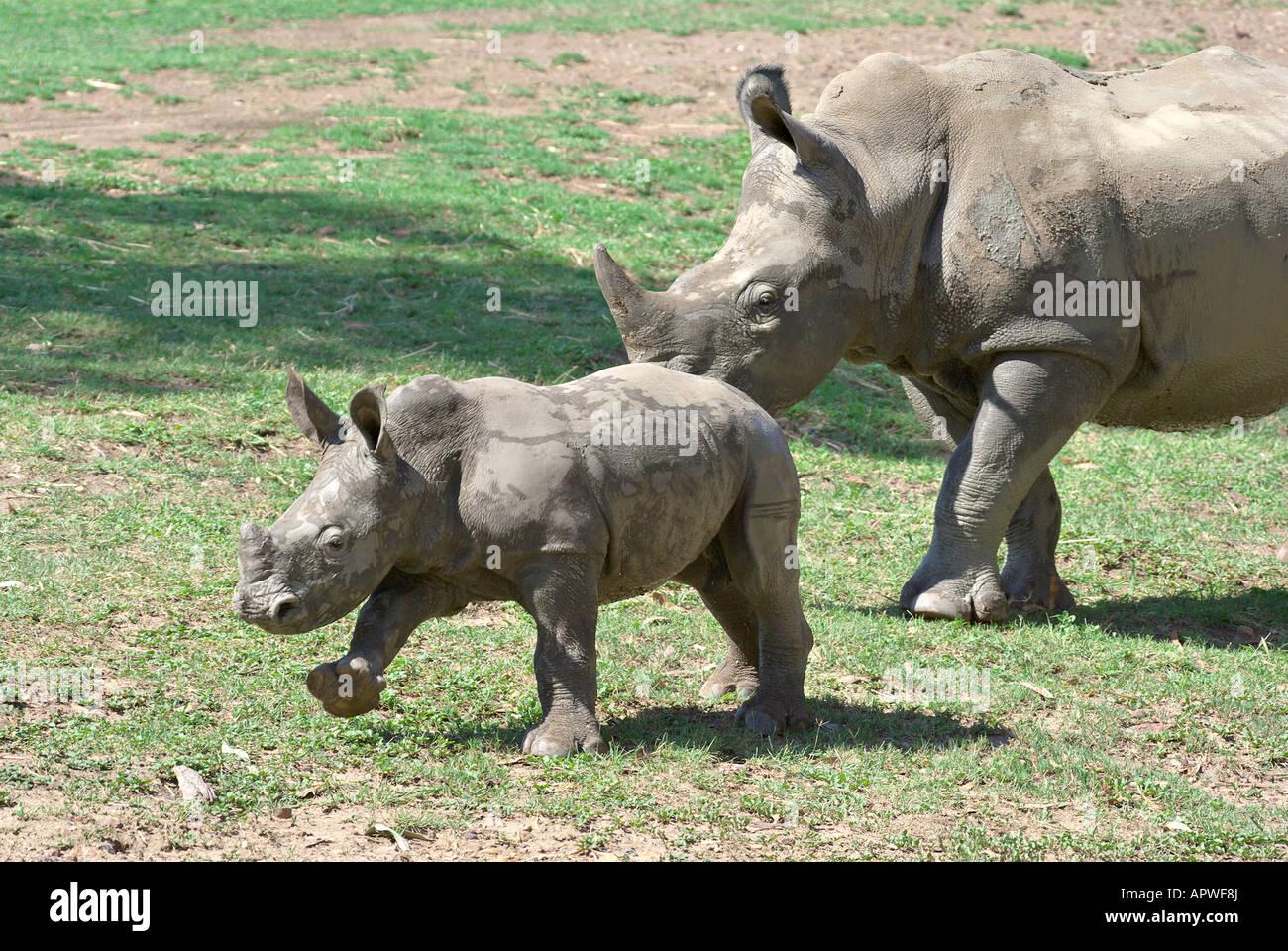 Un bambino e la madre il rinoceronte nero insieme Immagini Stock