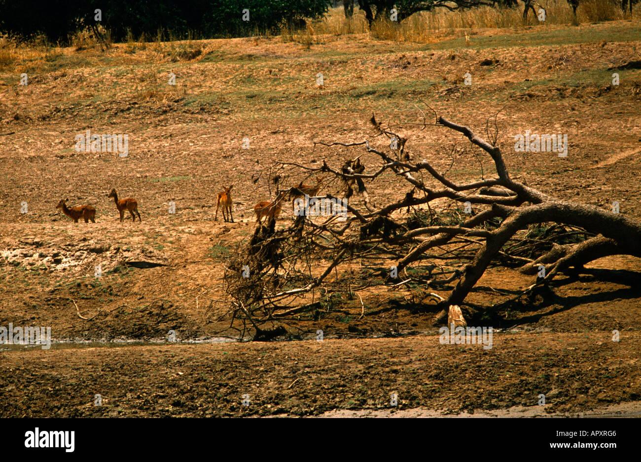 Zambia Sovrappascolamento rami morti Deforestazione Immagini Stock