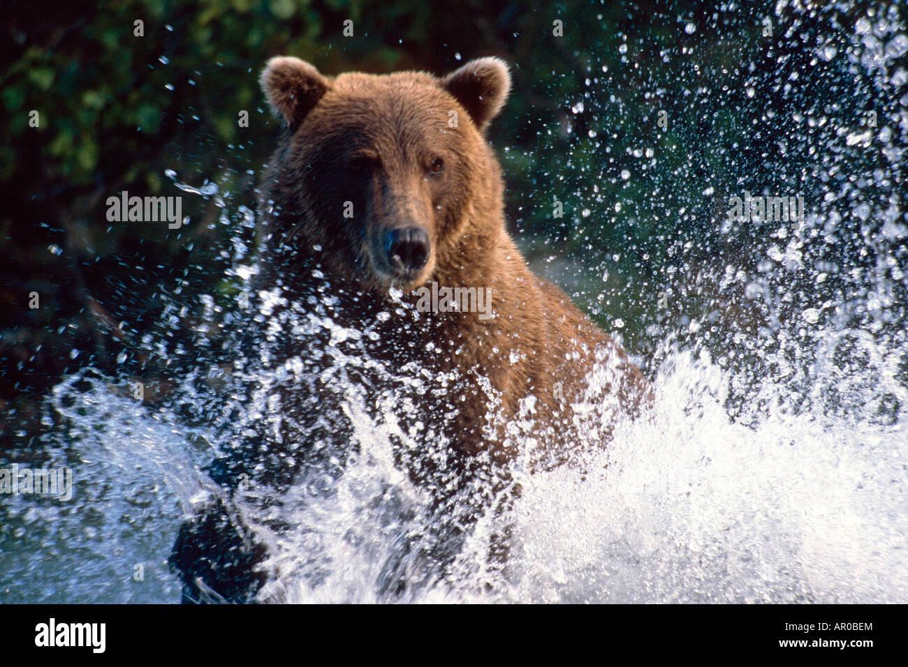 La carica Grizzly schizzi attraverso acqua Shelikof dritto Katmai Nat Park Estate Southwest Alaska Immagini Stock