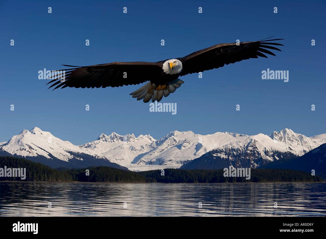 Aquila calva in volo passaggio interno Tongass National Forest SE Alaska composito a molla Foto Stock