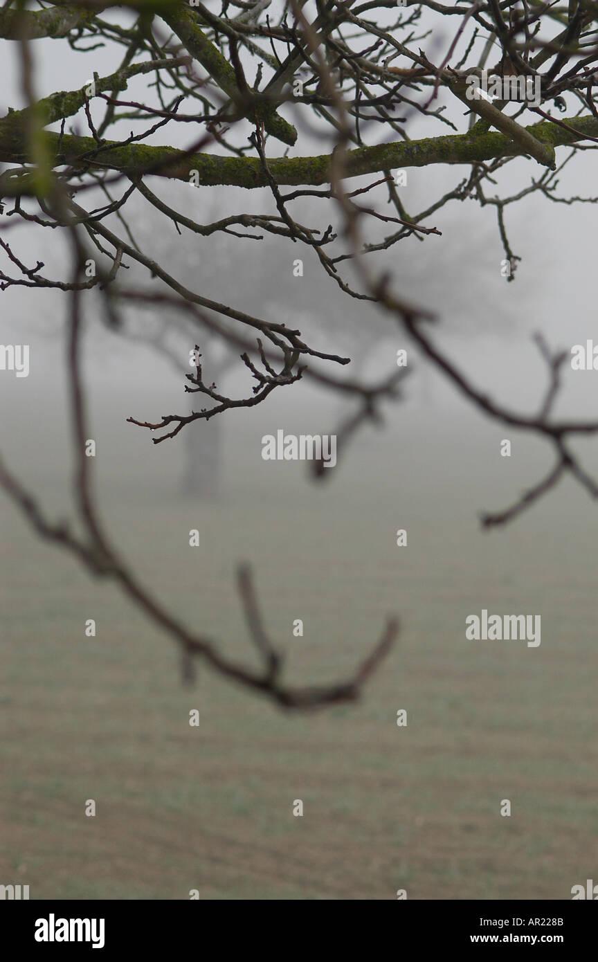 Fig Tree inverno nella nebbia di Mallorca Pla interno di Maiorca Spagna Europa Mediterraneo Immagini Stock