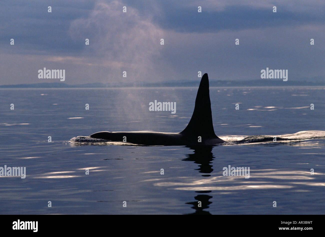 Una balena killer affiorante Immagini Stock