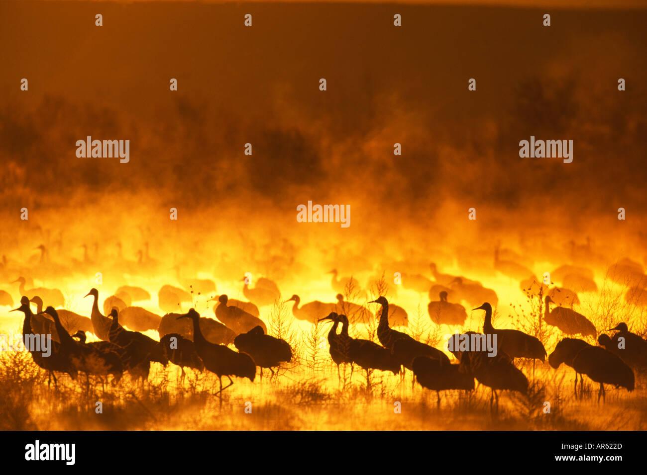 Sandhill gru Grus canadensis gruppo all'alba sono ' appollaiati pond Bosque del Apache Nuovo Messico USA Immagini Stock