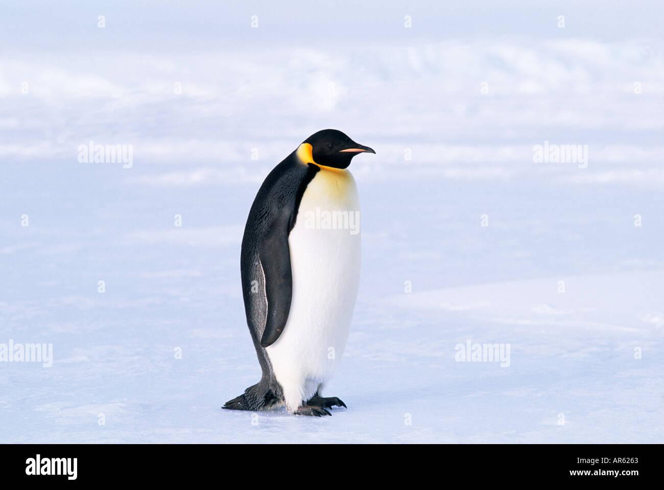 Pinguino imperatore Aptenodytes forsteri Mare di Weddell Antartide di novembre Immagini Stock