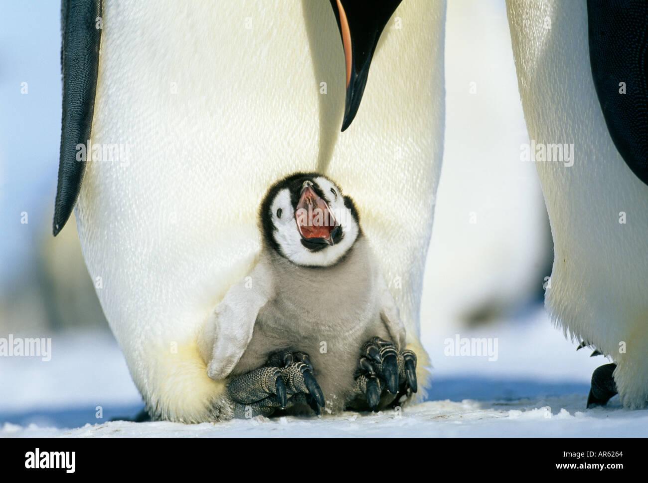 Pinguino imperatore aptenodytes fosteri chick Elemosinare il cibo pur essendo couvée sulle madri piedi mare di Weddell antartide di novembre Immagini Stock