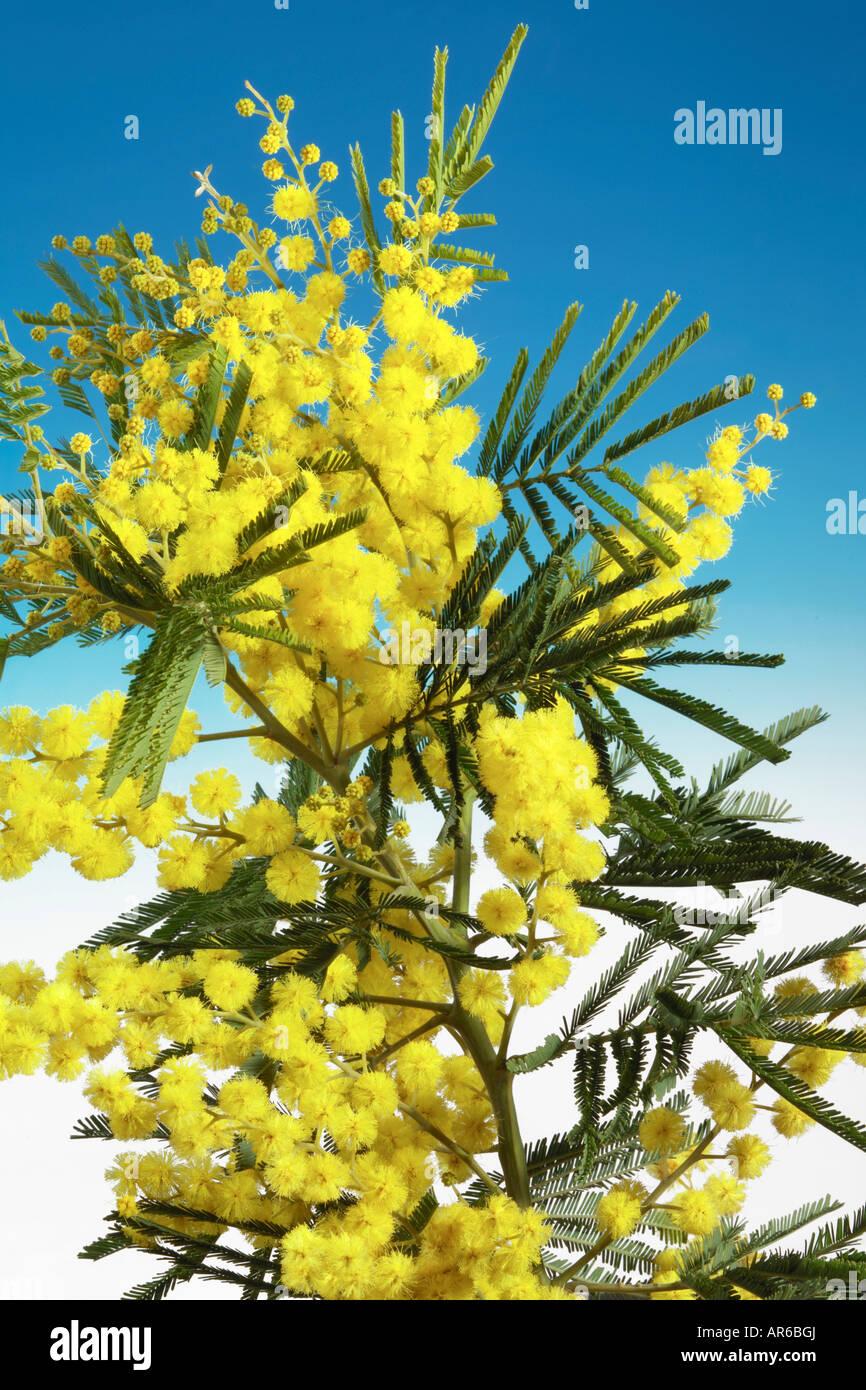 Mimosa fiori Immagini Stock