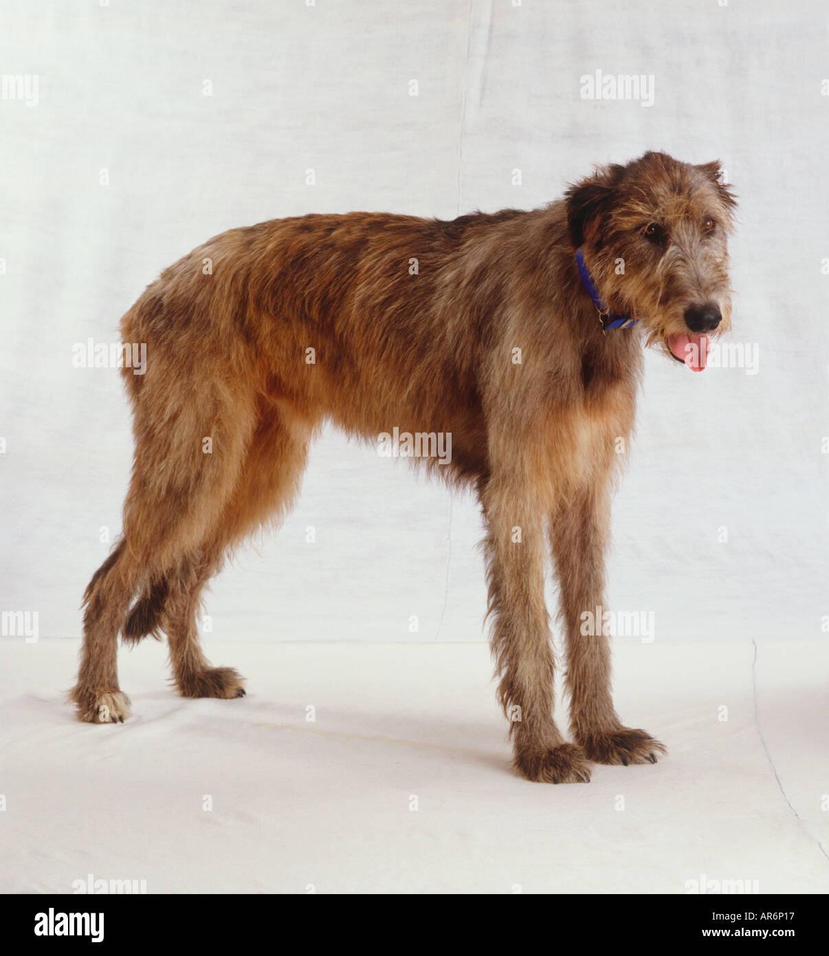 Irish Wolfhound, marrone lungo la pelliccia trasandata standing, ansimando con toingue, indossando il collare blu, vista laterale. Immagini Stock