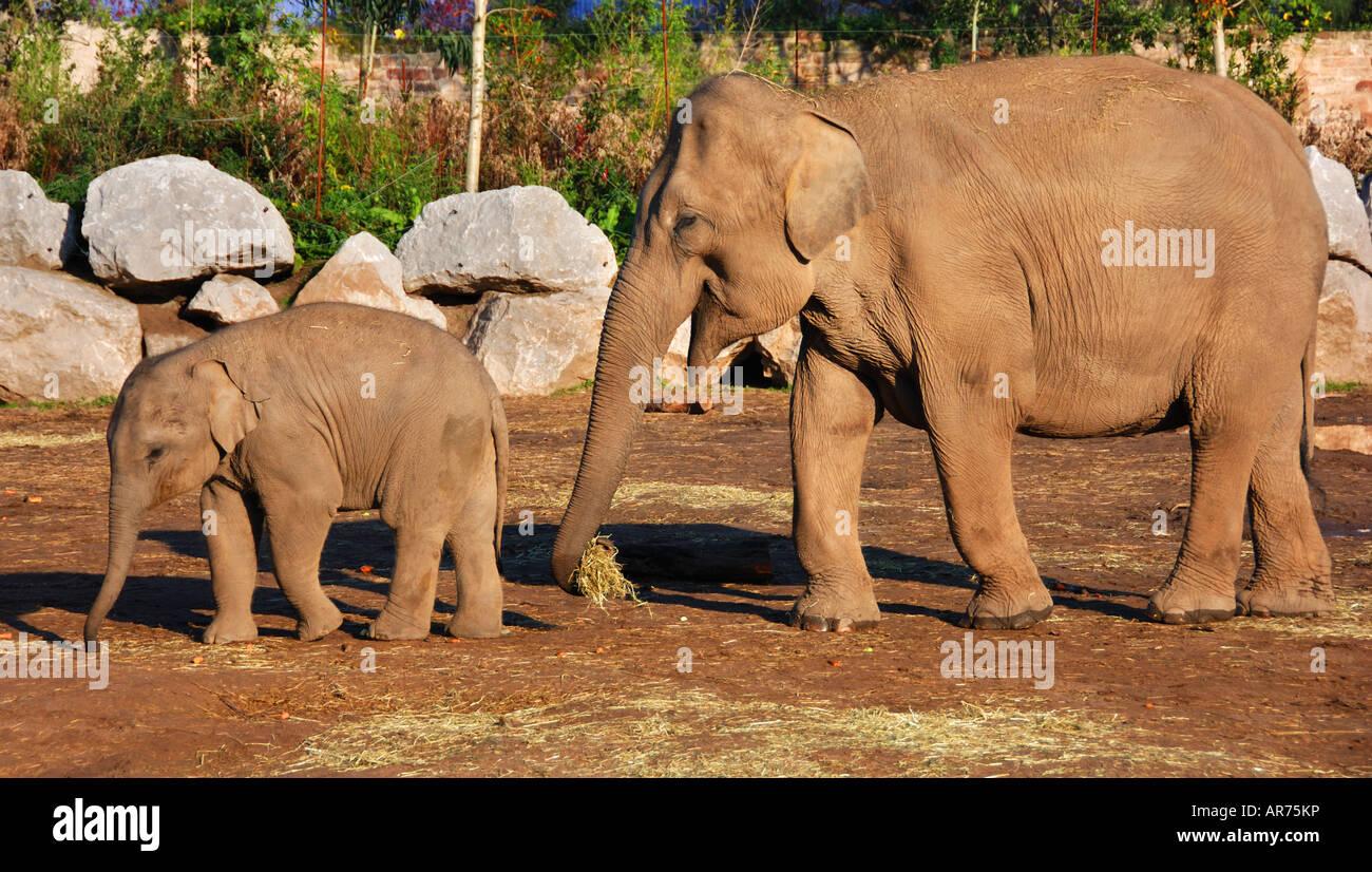 La madre e il bambino elefante camminando nel sole mattutino Immagini Stock
