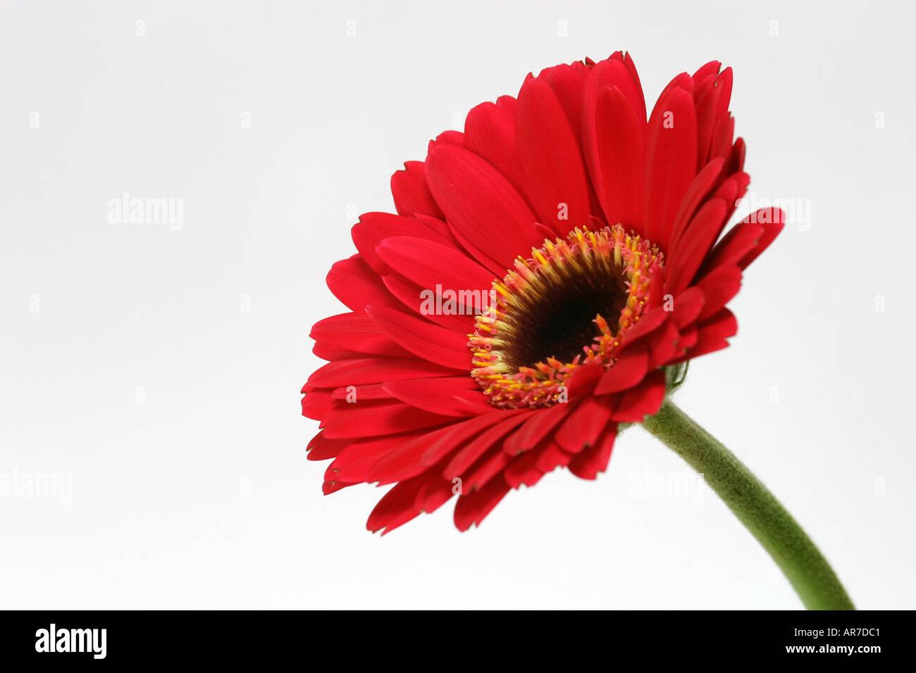 Unico Luminoso Rosso Vivo Fiore Di Gerbera Contro Uno Sfondo Bianco