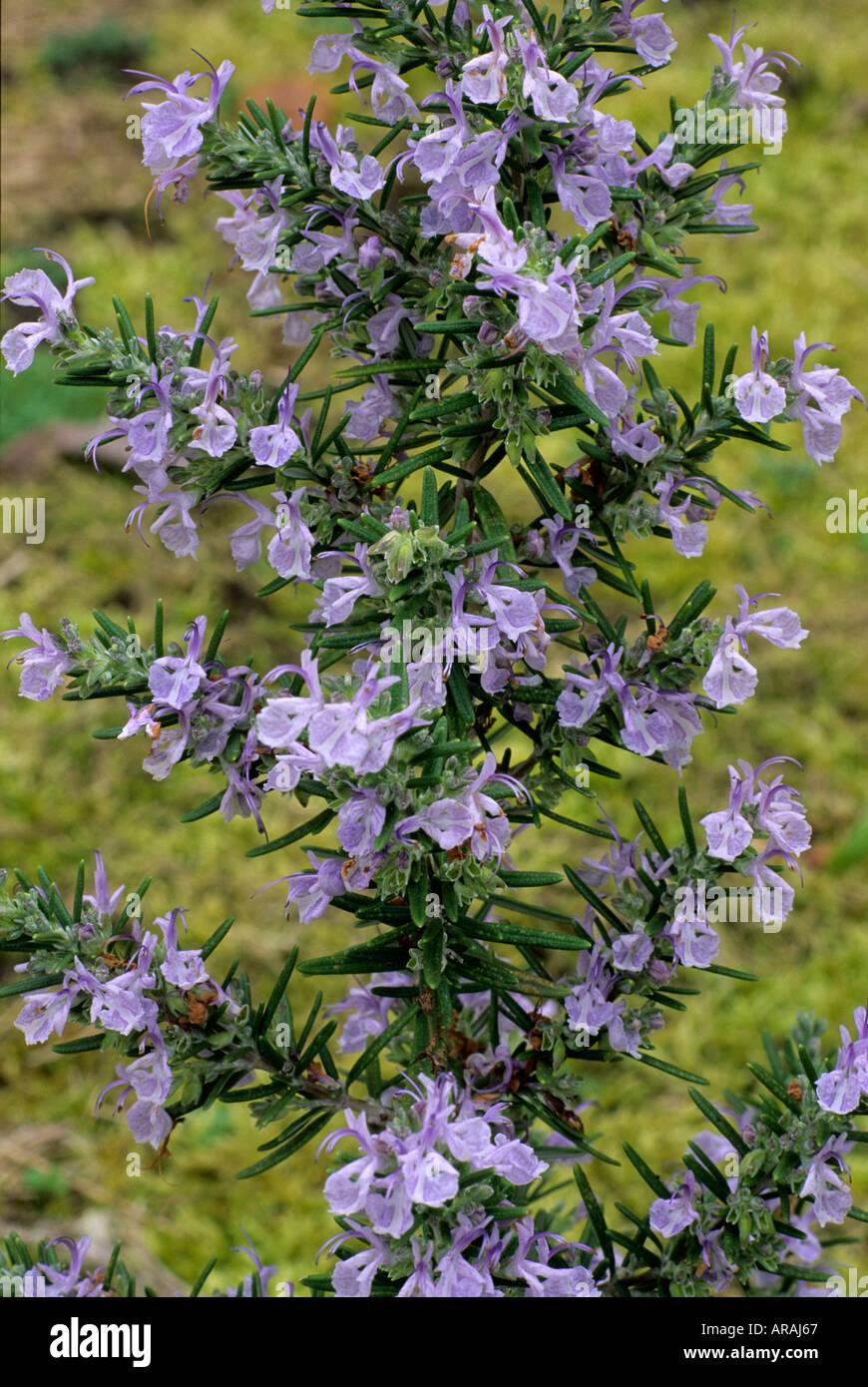 Rosmarinus 'Miss Jessop montante dell' Jessop Rosmarino blu fiore fiori piante da giardino piante di erbe erbe rosemarys Foto Stock