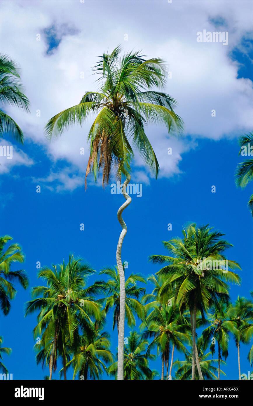 Twisted Palm tree, Zanzibar, Tanzania Immagini Stock