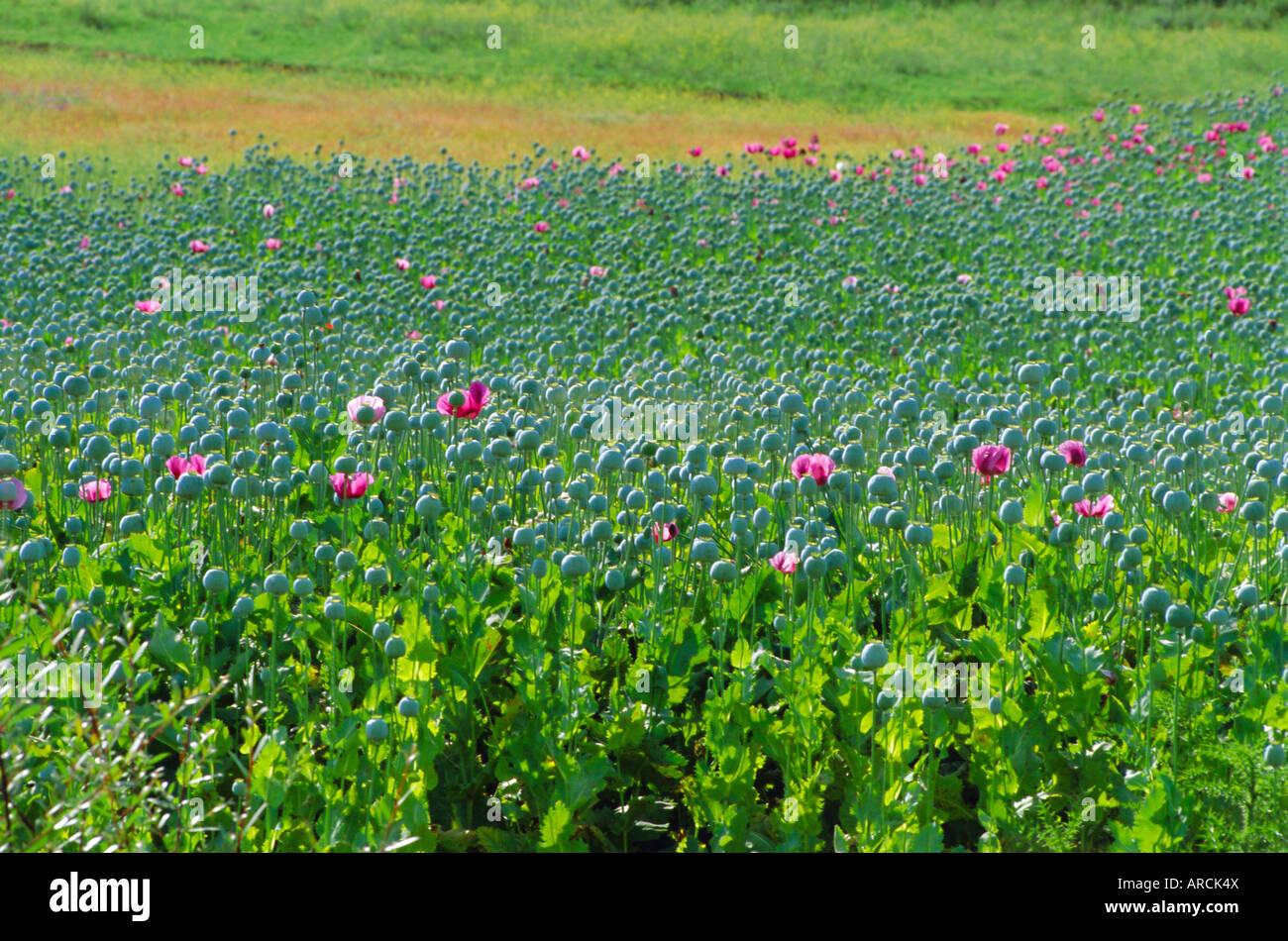 I papaveri da oppio sono un prodotto legale per la produzione di morfina, Sandinski, Bulgaria Immagini Stock