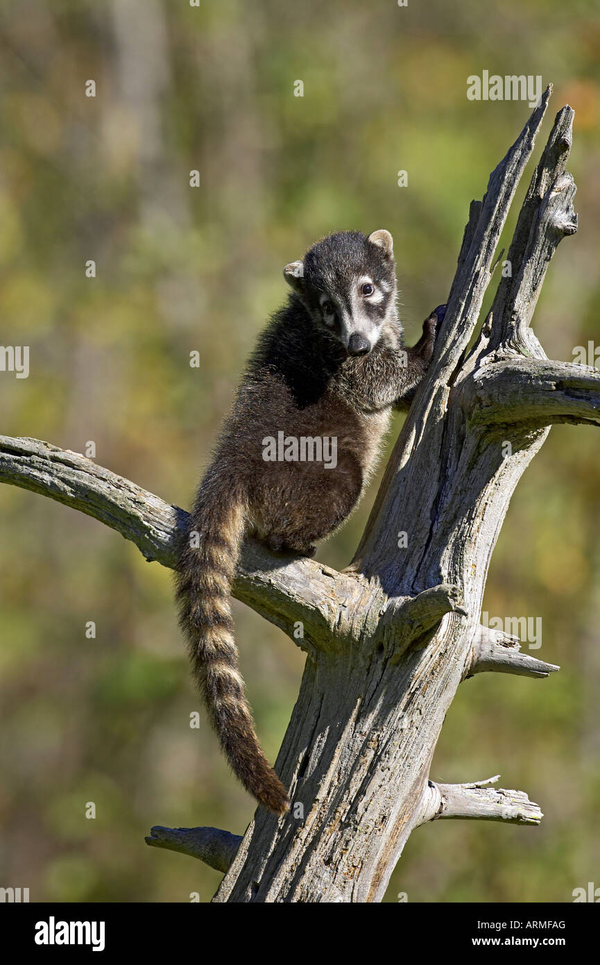 Captive coati (Nasua narica), Minnesota Wildlife Connessione, arenaria, Minnesota, Stati Uniti d'America, America Immagini Stock