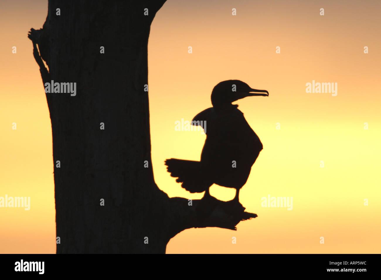 Doppia di cormorani crestato Sihouette al tramonto Immagini Stock