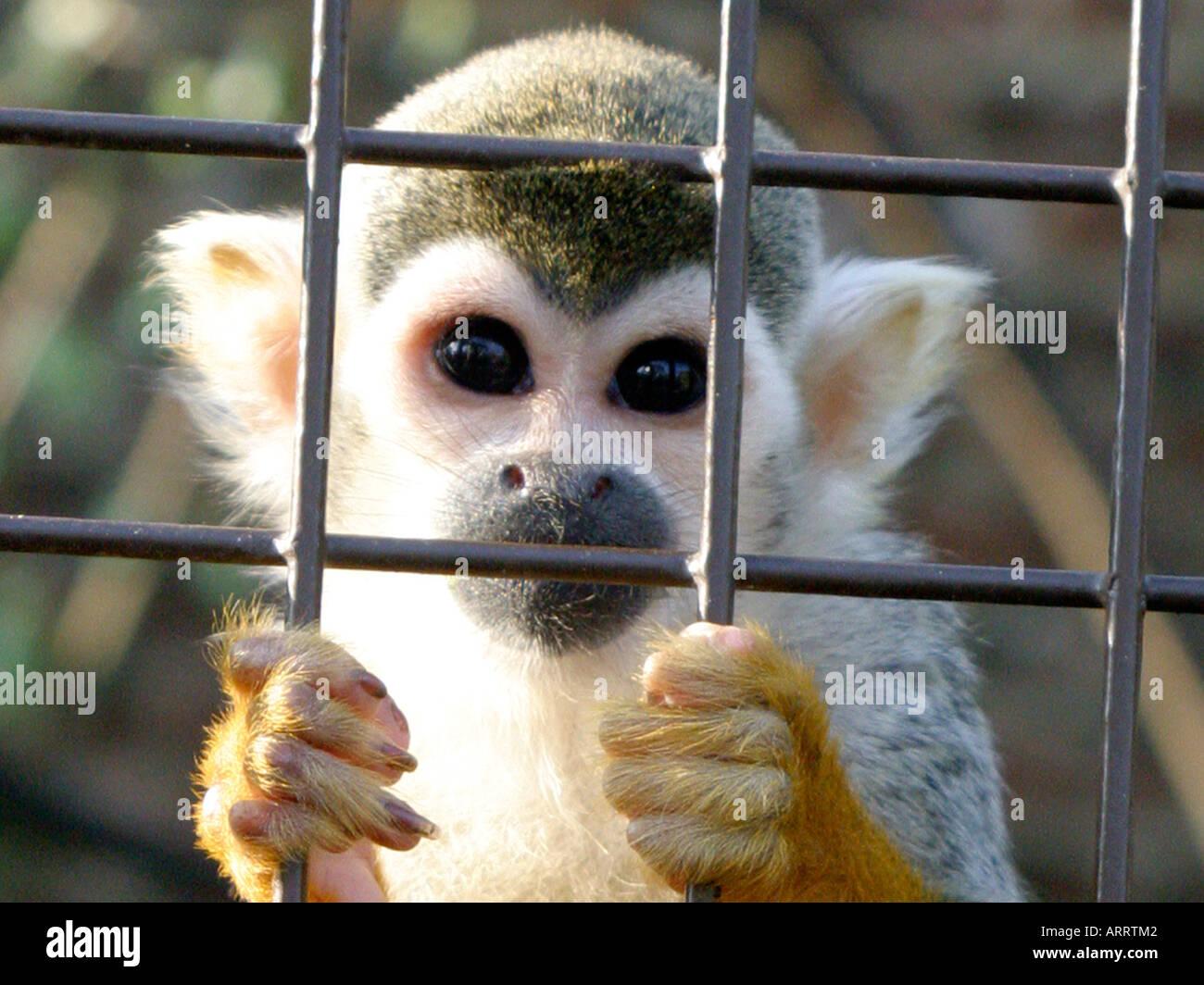 Una Scimmia di scoiattolo in un caged, guardando fuori da dietro le sbarre. Foto Stock