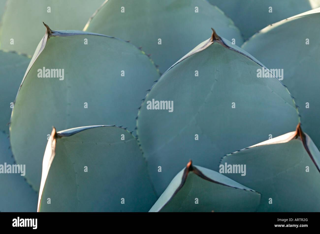 Cactus succulente piante del deserto Immagini Stock