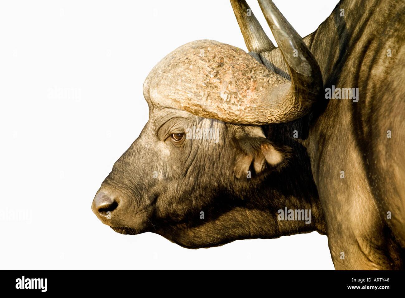 Stretto profilo immagine di bufalo indiano di acqua in Sud Africa Krueger National Park Immagini Stock