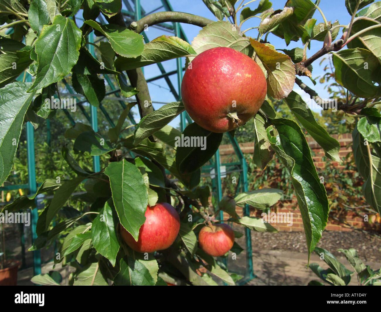 Apple Fiesta Immagini Stock