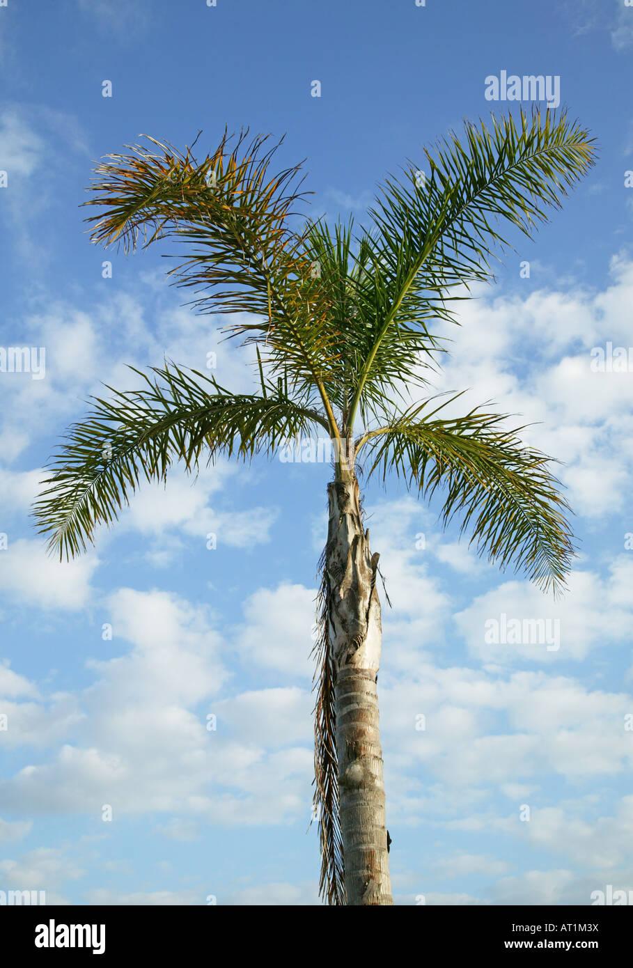 Un albero di palme sotto il cielo blu Immagini Stock