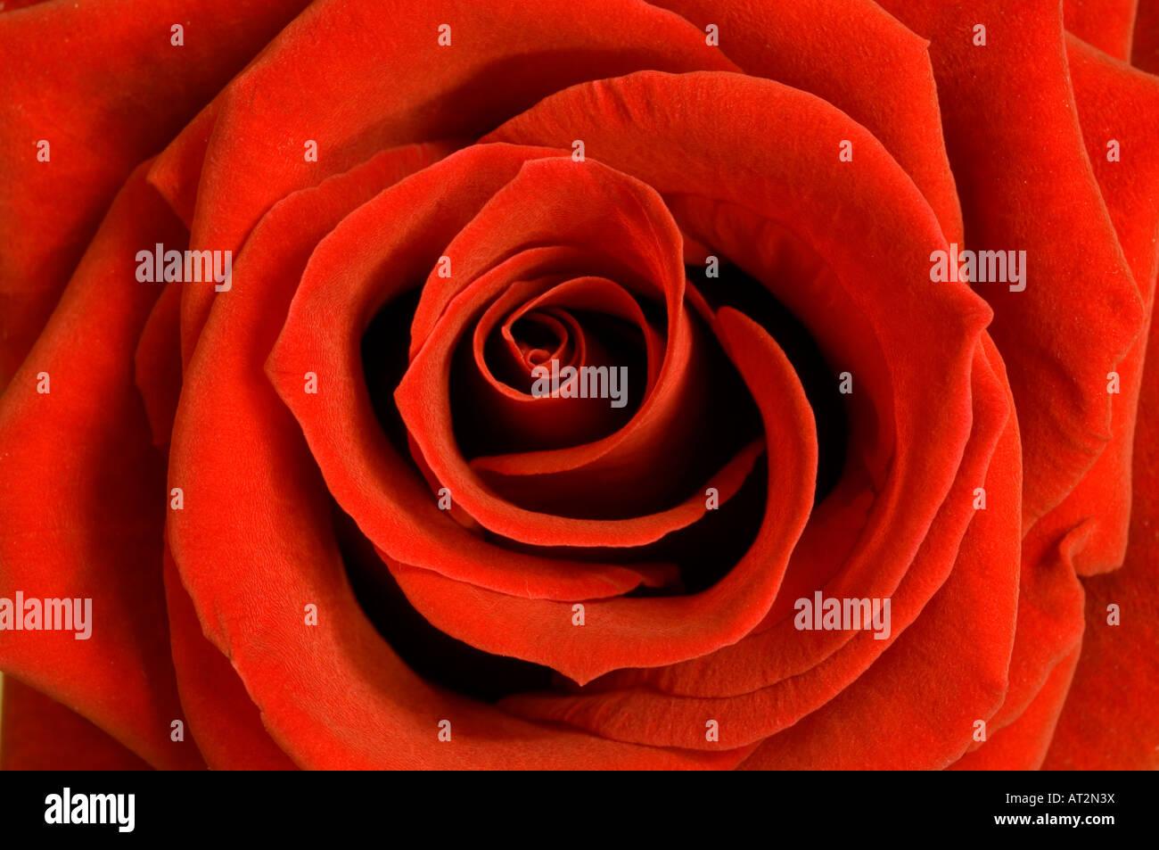 Una chiusura dei petali di rosa rossa Immagini Stock