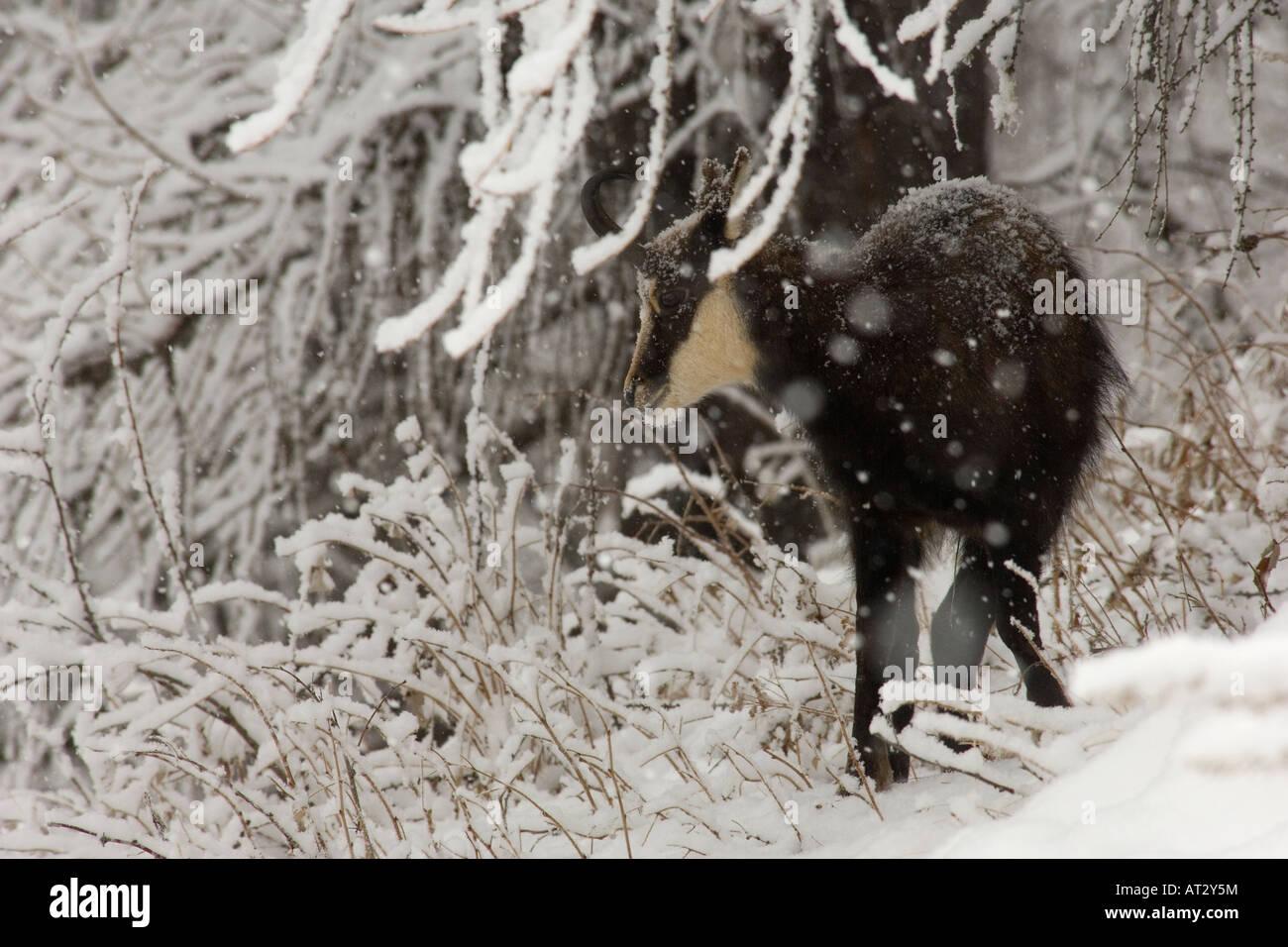 Mammiferi camoscio Montagna neve Rupicapra rupicapra mammiferi neve nevicata montagna paesaggio inverno Valnoney Immagini Stock