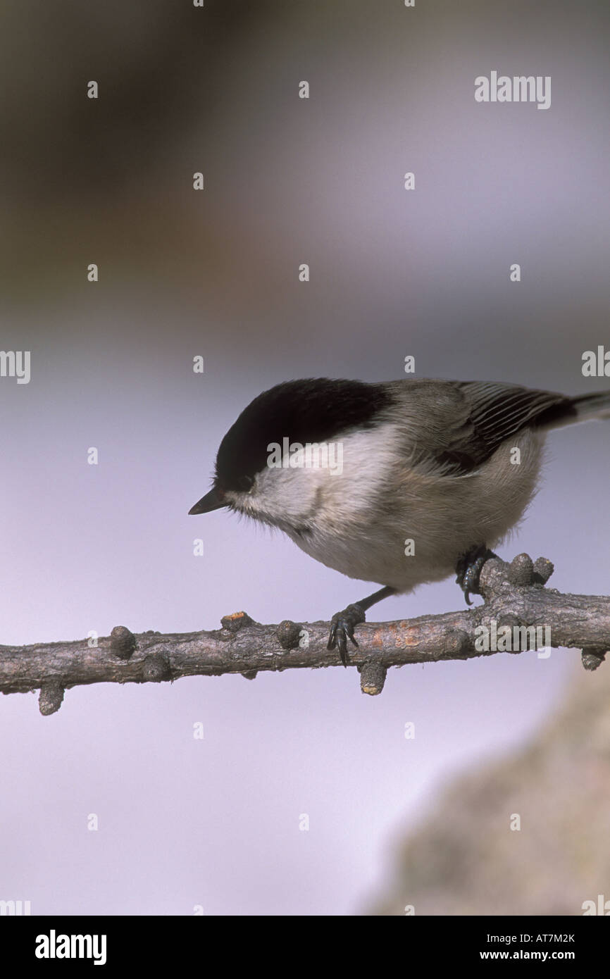 Cincia bigia alpestre Parus montanus uccelli cincia paridi Engadina Svizzera neve inverno Immagini Stock