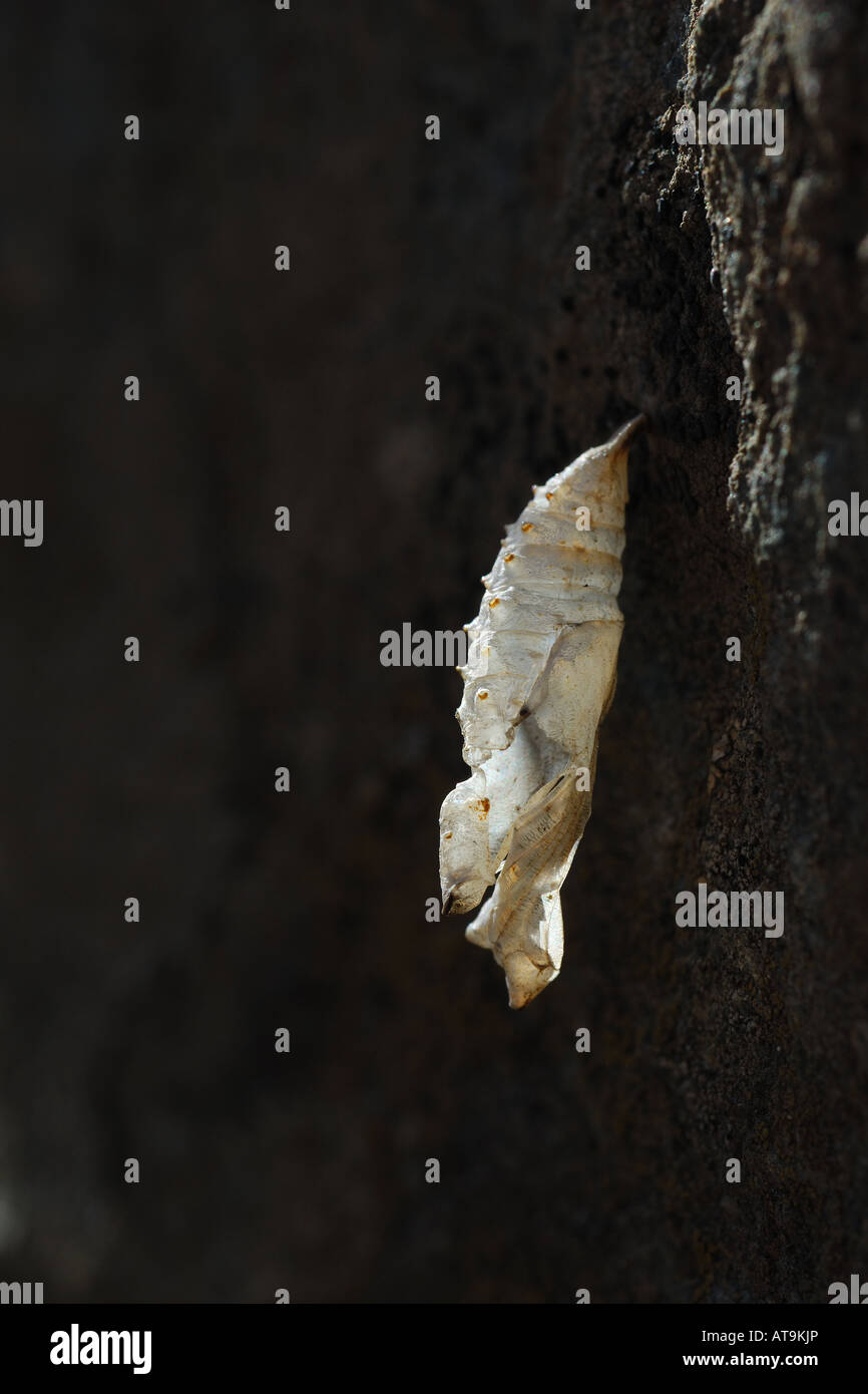 Esuvia Aglais urticae vanessa dell ortica lepidotteri farfalla insetti Farfalle lepidoctera insetto Cogne Parco Immagini Stock
