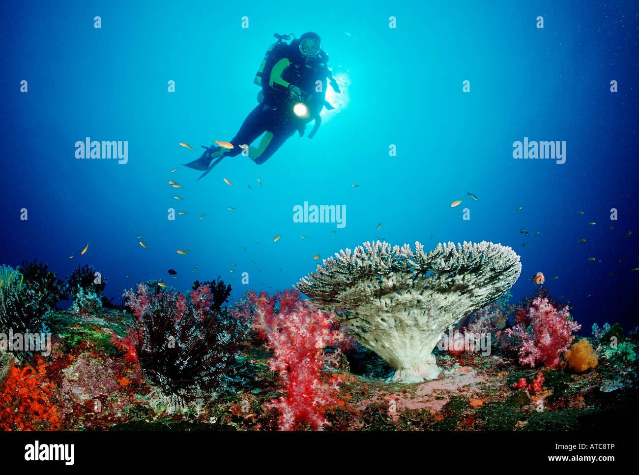 Coral Reef e subacqueo Isole Similan Thailandia Immagini Stock