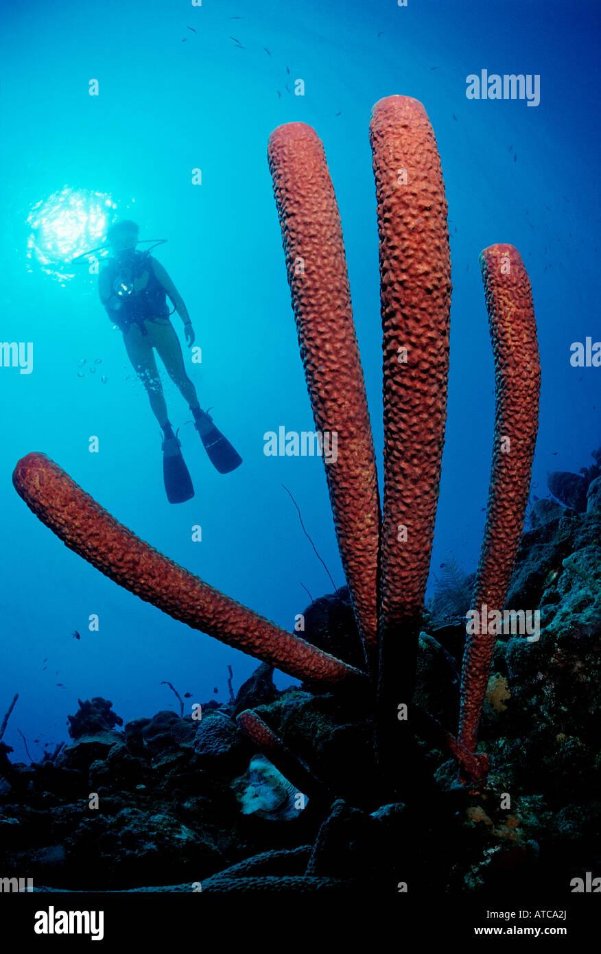 Spugna e subacqueo il mare dei Caraibi Le Isole Vergini britanniche Immagini Stock