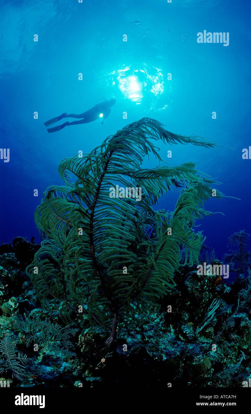 Subacqueo con coralli molli Mar dei Caraibi Cuba Immagini Stock