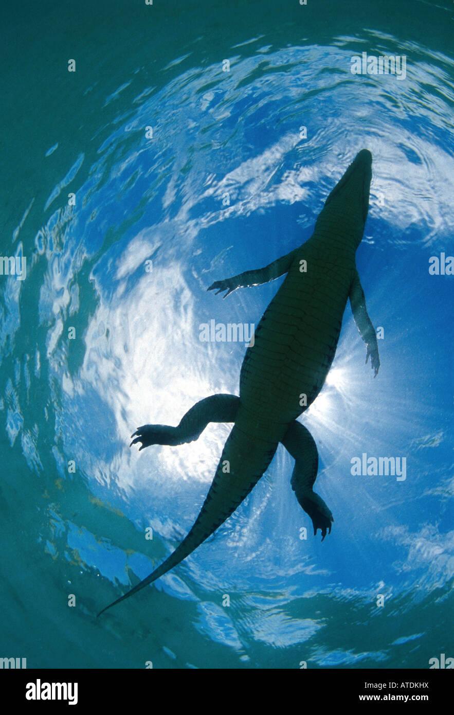 Coccodrillo di acqua salata Crocodylus porosus Bismarc Mare Papua Nuova Guinea Immagini Stock