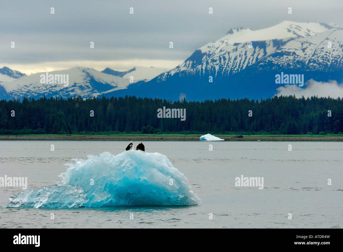 Aquila calva Haliaeetus leucocephalus su iceberg passaggio interno Alaska Oceano Pacifico Immagini Stock