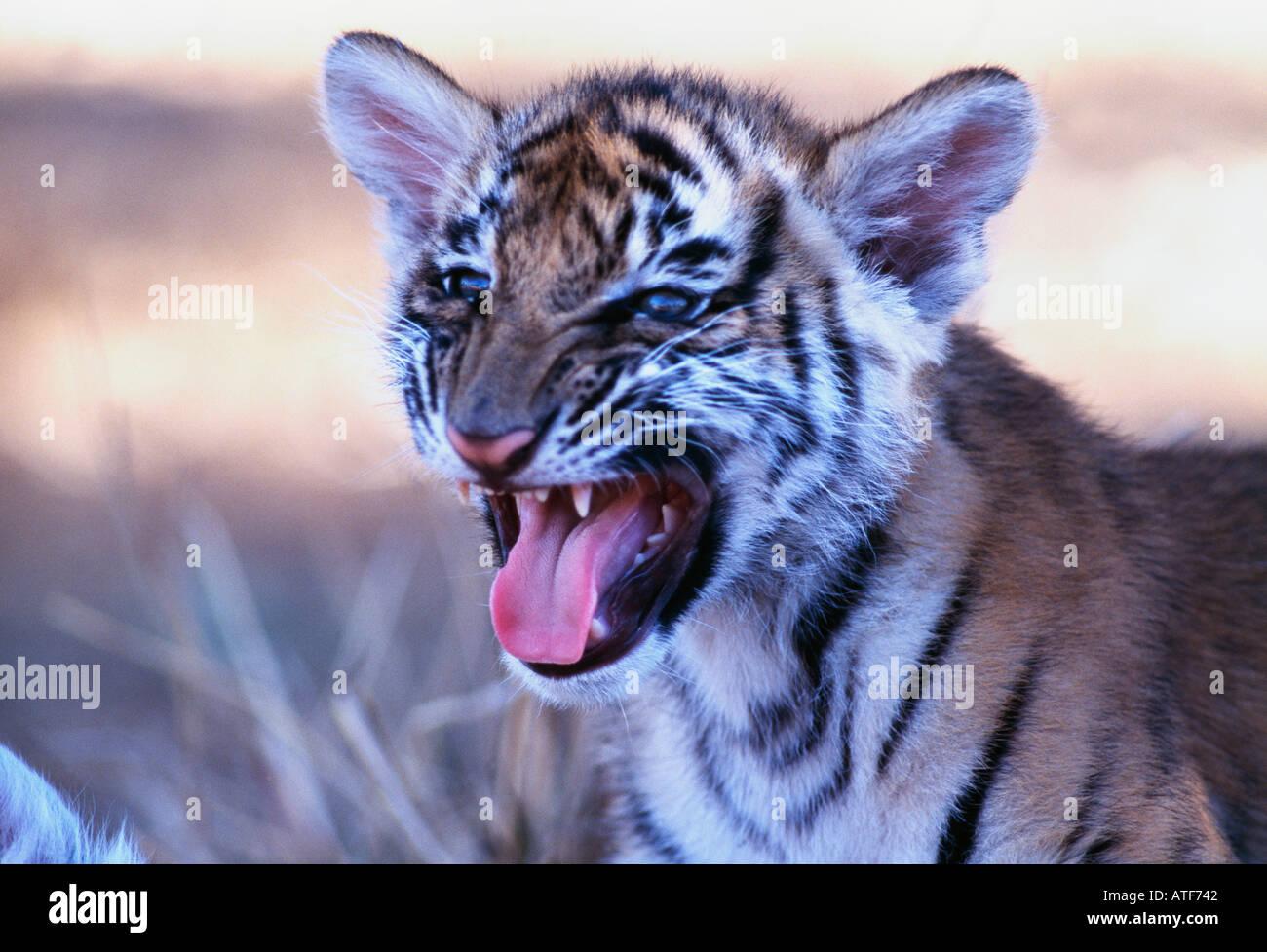 Tigre del Bengala cub modello della fauna selvatica Immagini Stock