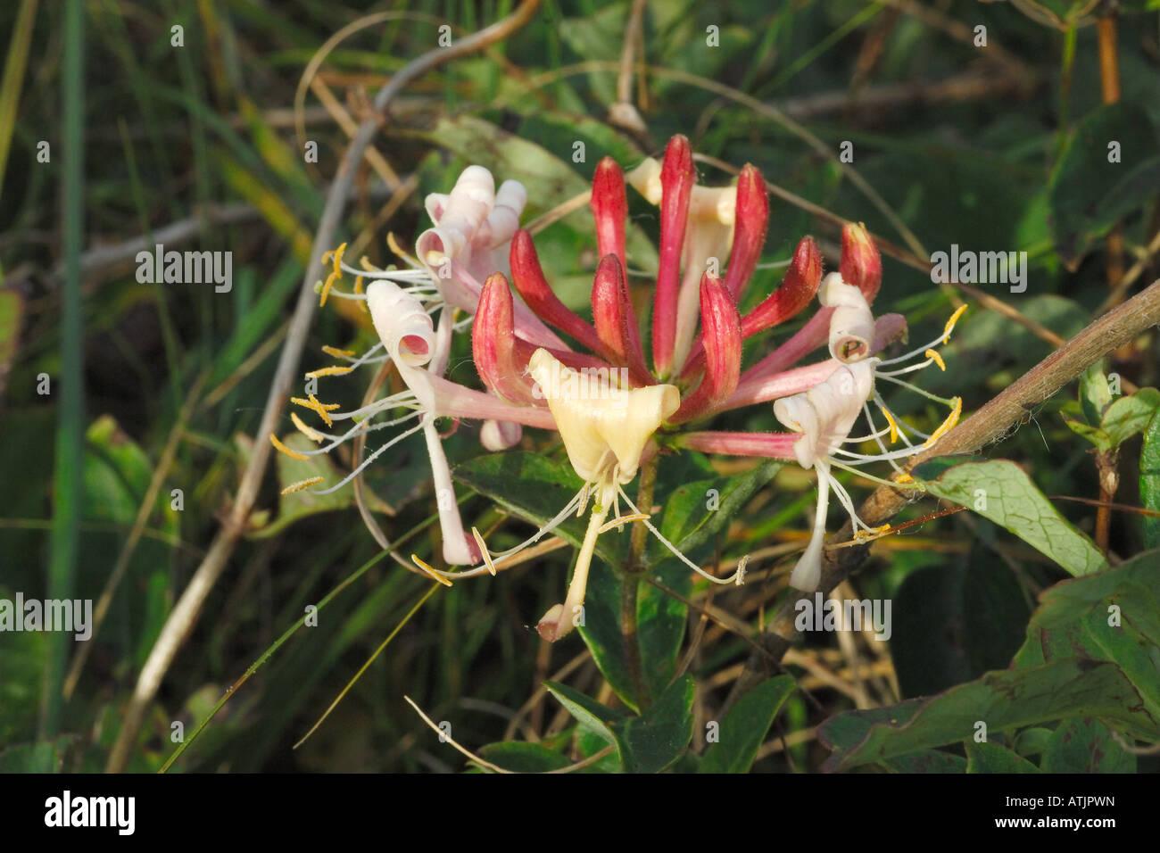 Caprifoglio Lonicera sp caprifoliaceae arbusto piante Texel isole Frisone Olanda Mare del Nord mare di Wadden BENELUX Immagini Stock