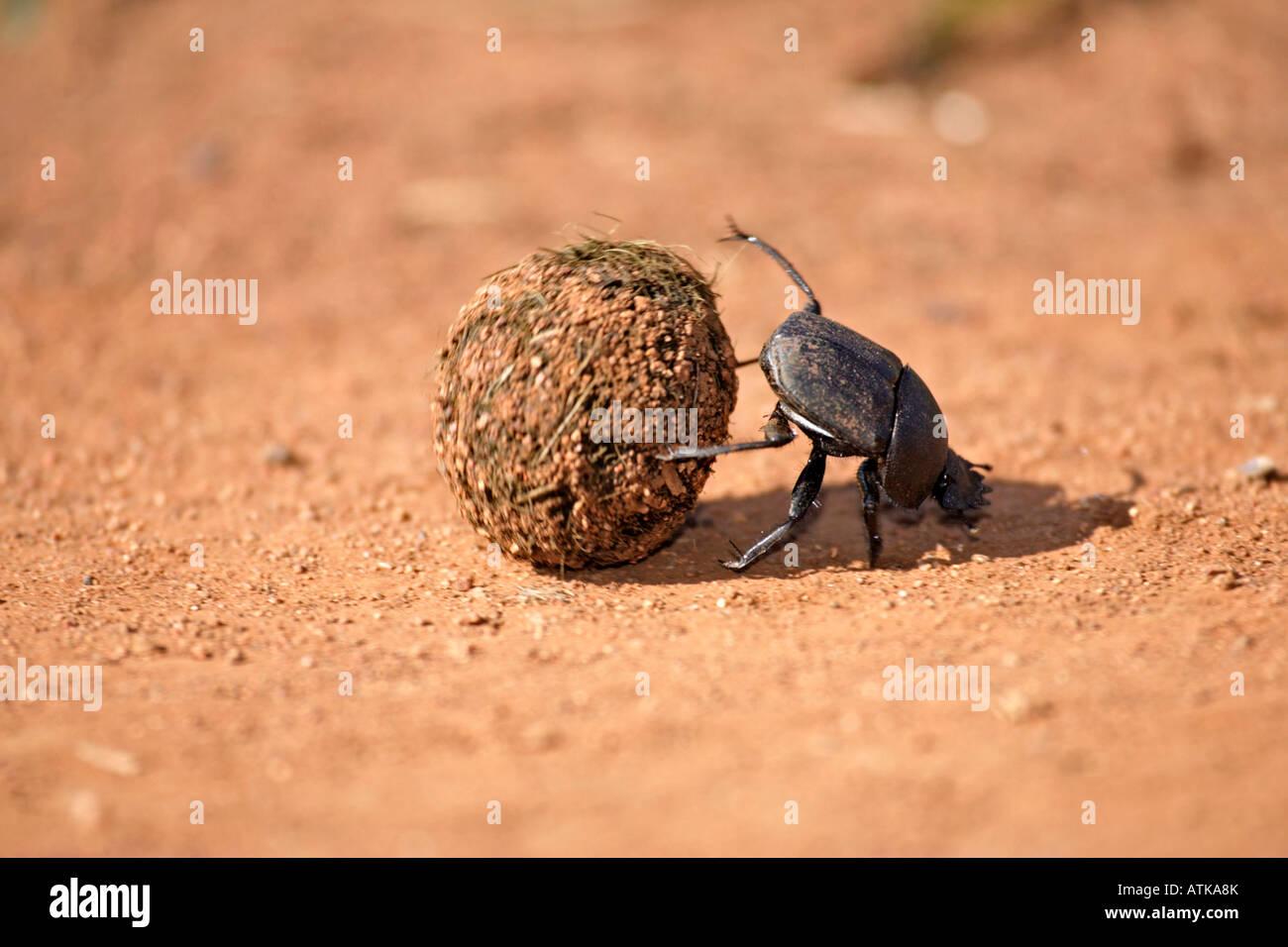 Dung Beetle / Scarabeo Scarabeo Foto Stock