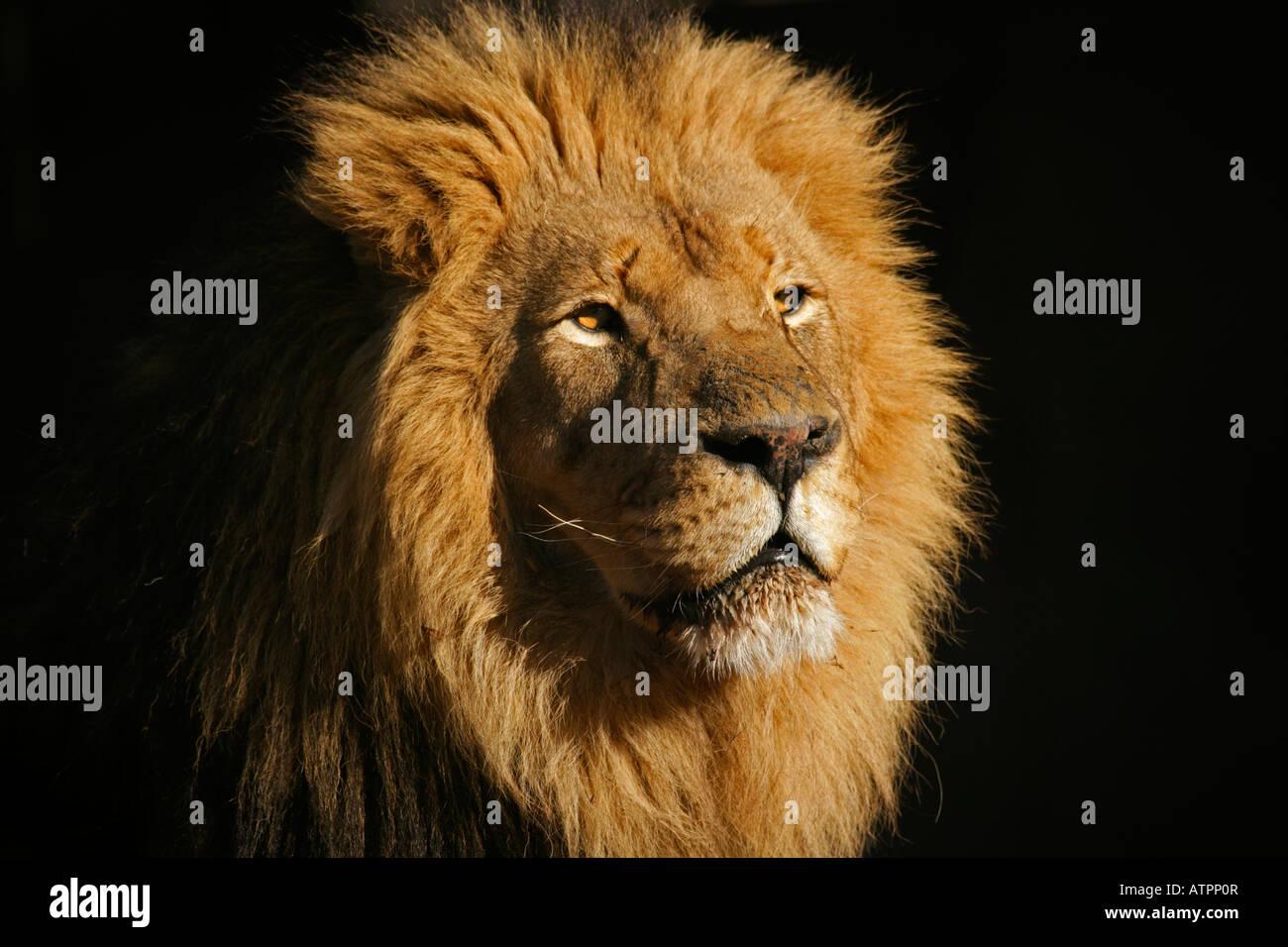 Ritratto di un grande maschio di leone africano (Panthera leo), contro uno sfondo nero, Sud Africa Immagini Stock