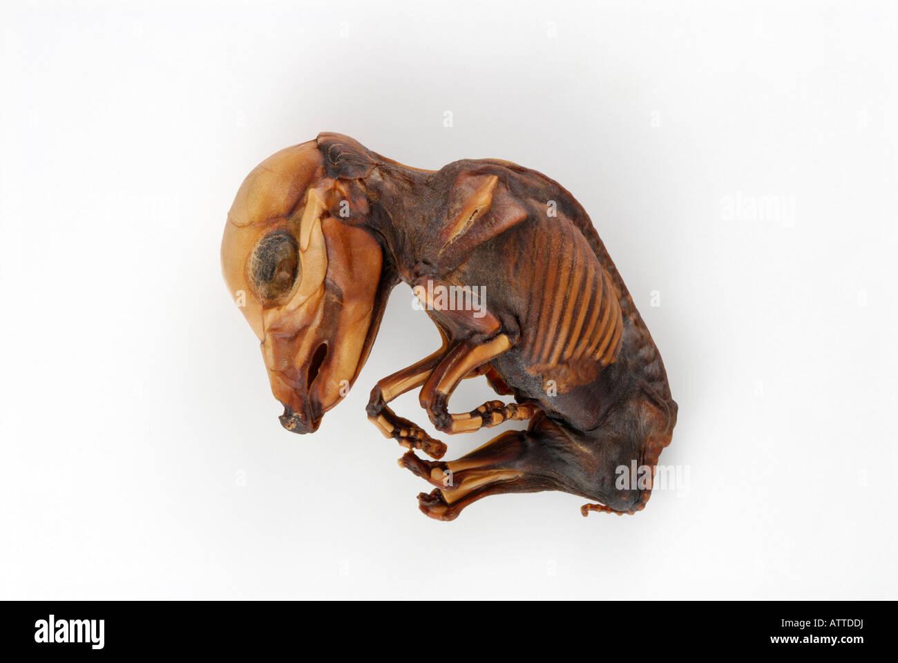 Il feto di una vacca che abortito, embriologia Immagini Stock