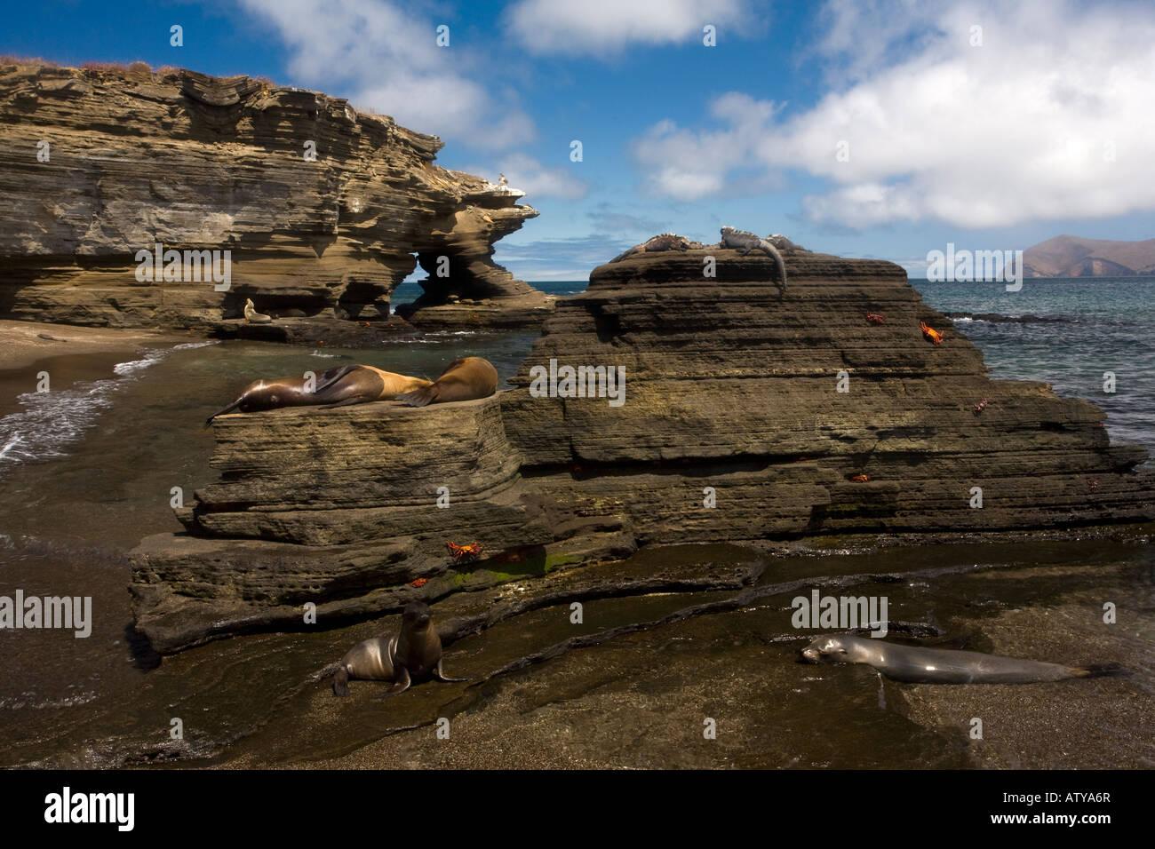 Galapagos: microcosmo vista con leoni di mare Sally Lightfoot granchi iguane marine sule etc su rocce laviche a Immagini Stock