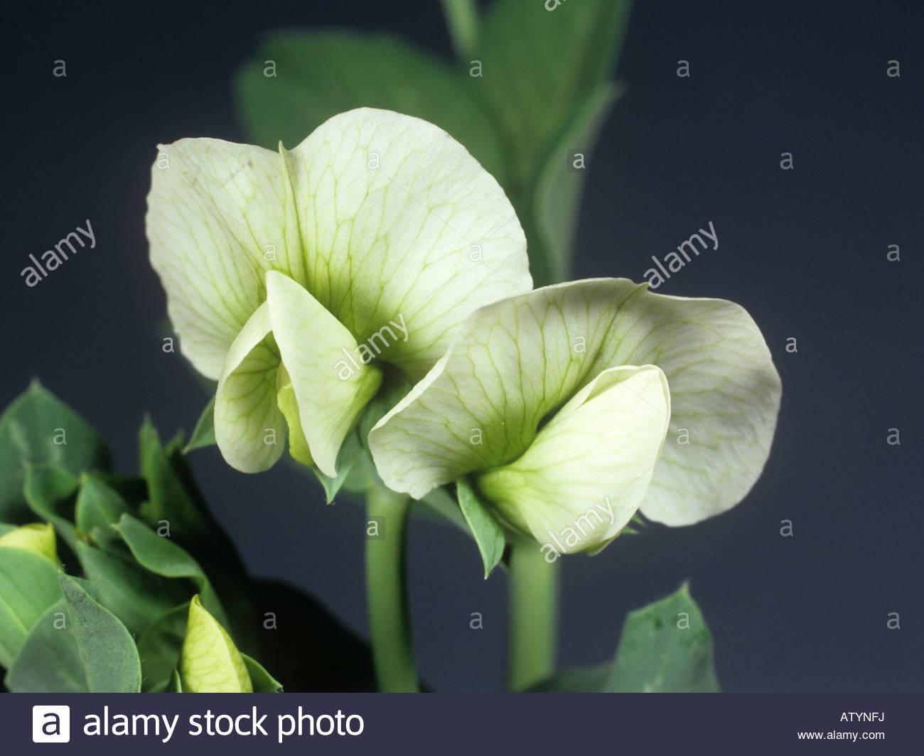 Fiore di pisello in stretta fino che mostra cinque petali Immagini Stock